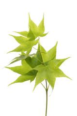 Macro of green ivy leafs