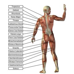 High resolution conceptual 3D human anatomy and muscle isolated