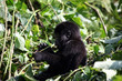 baby mountain gorilla - Uganda