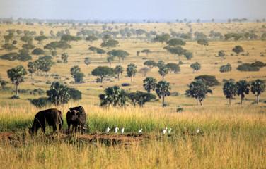 Murchison falls Buffalos - Uganda