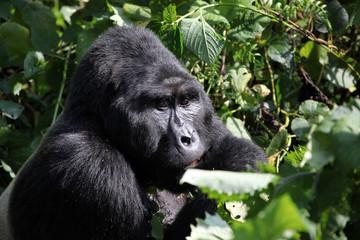 Silverback gorilla- Uganda