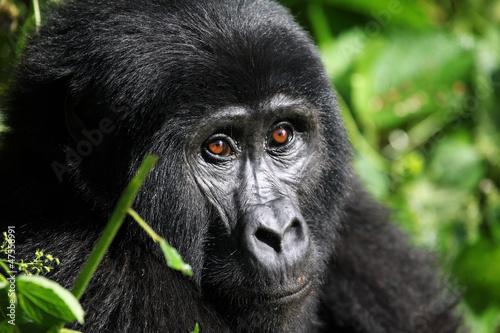 Fototapeten,gorilla,berg,uganda,gesicht