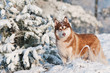 siberian husky dog portrait in winter