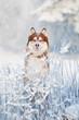 dog siberian husky portrait in winter