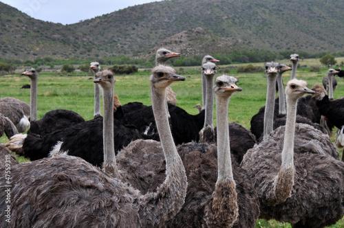 Plexiglas Struisvogel Herd of Ostrich