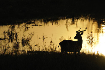 Gazelle back light near water at Uganda