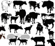 Cow  goat animals calf isolated white background vector