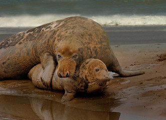 Male and Female Seals