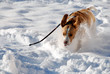 Dog on the run in snow