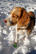 Beagle with her green ball in snow