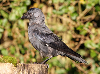 Portrait of a very old Jackdaw