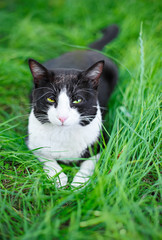 Cute black cat lying on green grass lawn