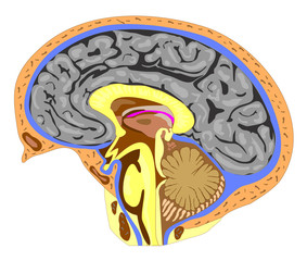 Anatomy of the brain (side view)