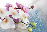 Fototapety pink and white beautiful orchids with drops on blue background