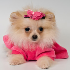 Puppy in the dress in studio