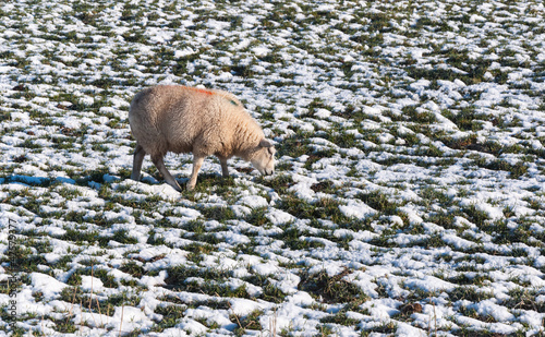 One grazing sheep in a snowy meadow