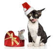 Devon Rex kitten in Santa Christmas red hat