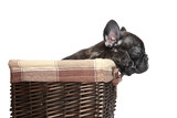 French bulldog puppy in basket over white background