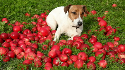 dog in apples