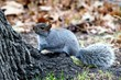 gray squirrel in woods 002