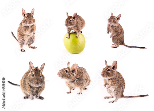 Set of young degu isolated