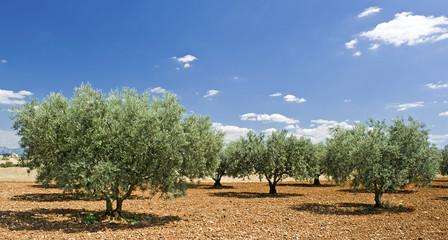 Olive tree, Evergreen tree. Provence. France.