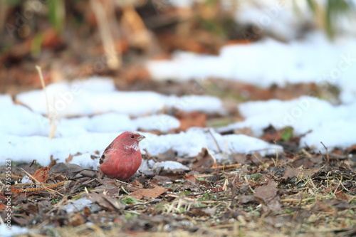 Pallas s Rosefinch  Carpodacus roseus  in Japan