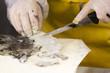 fishmonger preparing a cuttlefish