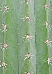 Rows of cactus spines