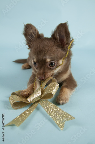 Chihuahua pup on colored background