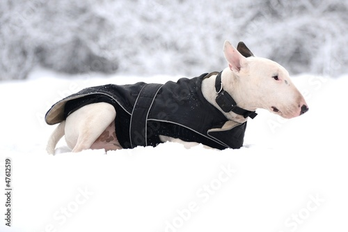 Bull terrier in winter