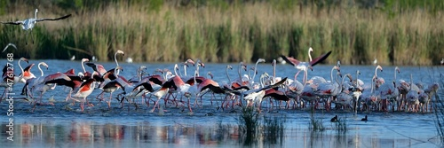 Foto op Canvas Flamingo Fenicotteri rosa in gruppo