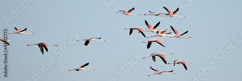 Deurstickers Flamingo Fenicotteri rosa in gruppo