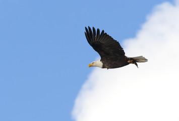Bald eagle soars.