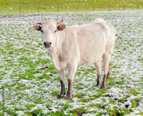 Portrait of a young white cow standing in snow
