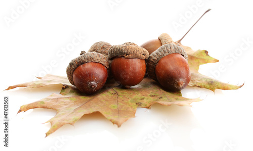 brown acorns on autumn leaf, isolated on white