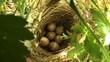 Гнездо серой славки
