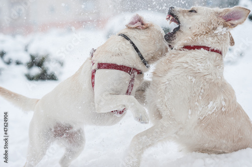dogs playing on the snow