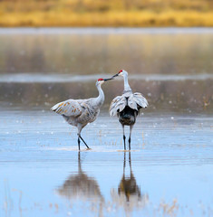 Sandhill Cranes kissing