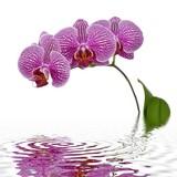 Fototapety Orchidées et reflet