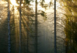 Forest with fog and sunlight
