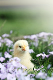 Fototapety Curious Little Chick
