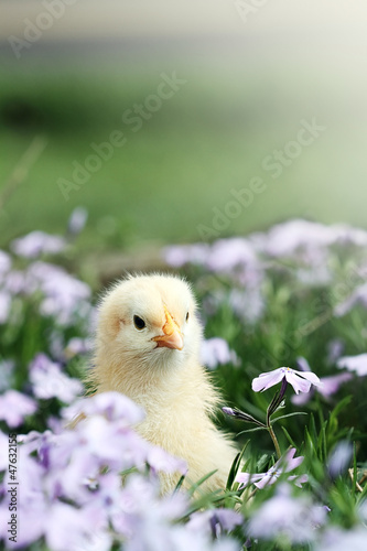 Curious Little Chick