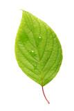 Fototapety Single leaf