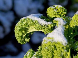 Grünkohl im Winter