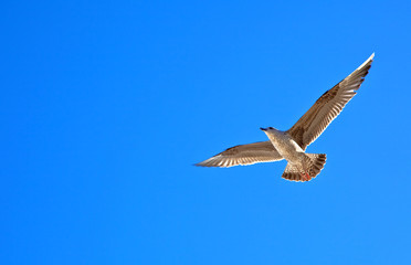 Single sea gull flying against background of sky