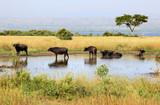 Albert lake Rift Valley Buffalos - Uganda poster