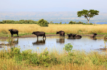 Albert lake Rift Valley Buffalos - Uganda