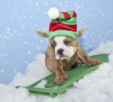Funny Bulldog / Elf Puppy