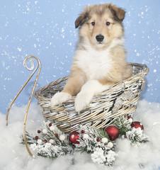 Sweet Collie Puppy